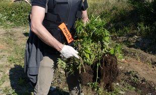 La police toulousaine a fait procéder à la destruction de 1.000 pieds de cannabis.