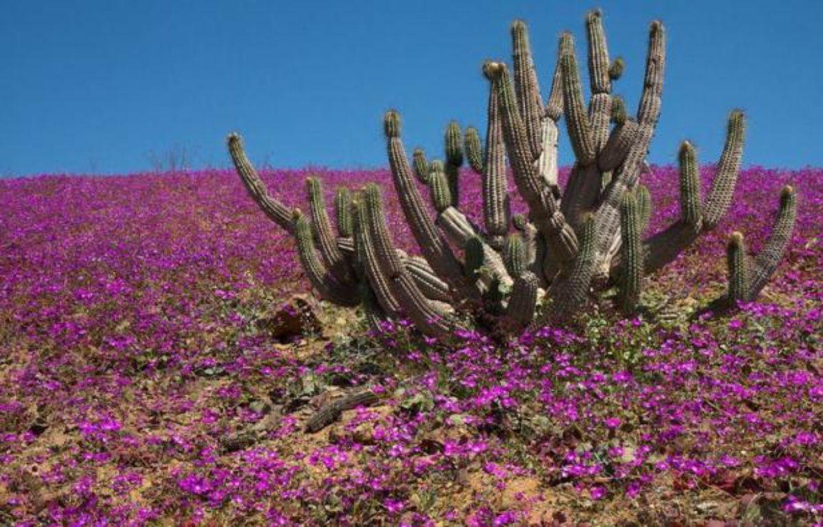 """Les bonnes années, d'immenses vagues de couleurs recouvrent des pans du désert considéré le plus aride de la planète: c'est le """"désert fleuri"""" du nord Chili, à la fois célèbre et méconnu, et au millésime 2011 spectaculaire. – Antoine Lassagne afp.com"""