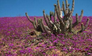 """Les bonnes années, d'immenses vagues de couleurs recouvrent des pans du désert considéré le plus aride de la planète: c'est le """"désert fleuri"""" du nord Chili, à la fois célèbre et méconnu, et au millésime 2011 spectaculaire."""