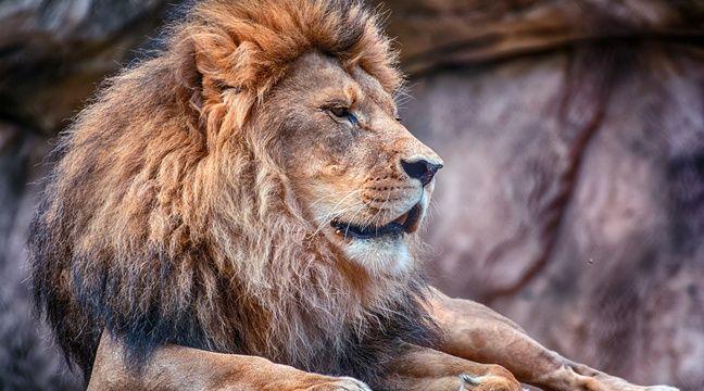 Kenya : Un lion sème la panique après s'être échappé du parc national de Nairobi