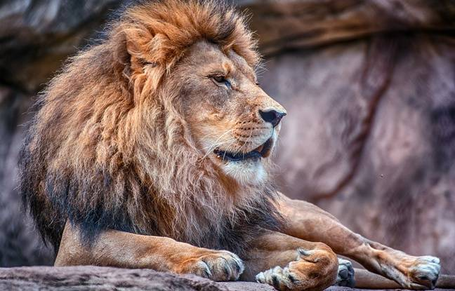 648x415 lion illustration