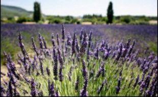 Capitale du nougat, la ville de Montélimar (Drôme) s'efforce d'apparaître également comme le pays de la lavande, un souci de diversification touristique qui présente l'avantage de venir en aide à un secteur en crise.