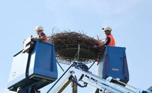 Des agents d'Enedis ont déplacé un nid de cigognes à Renac, près de Redon (Ille-et-Vilaine) le 25 août 2016.