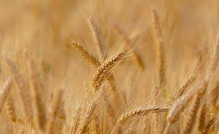 Un champ de blé. Illustration.