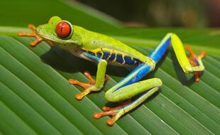 La grenouille Agalychnis callidryas, dite « rainette aux yeux rouges »