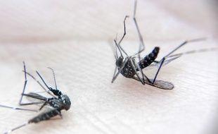 Des moustiques tigres. Illustration.