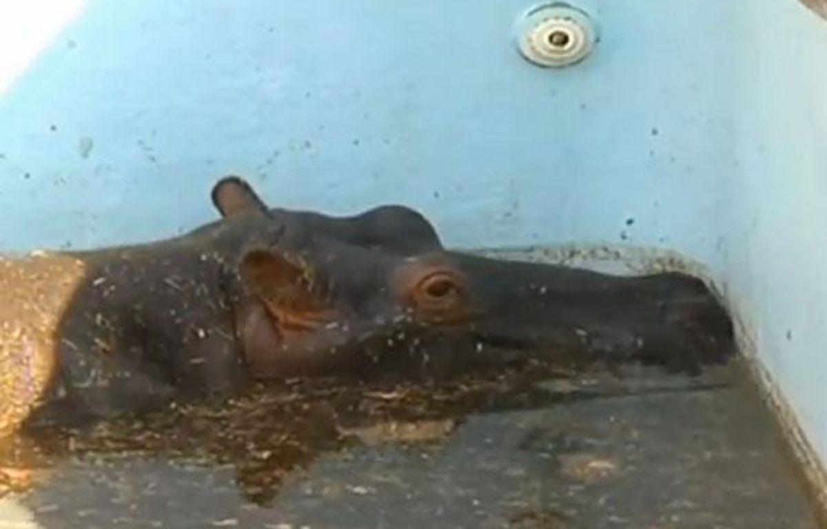 L'hippopotame Solly dans la piscine où il était coincé, dans un zoo en Afrique du sud, en août 2012 – DR