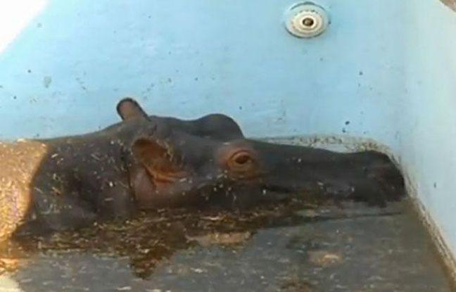 L'hippopotame Solly dans la piscine où il était coincé, dans un zoo en Afrique du sud, en août 2012