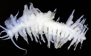 L'un des lombrics marins découverts lors de cette étude.