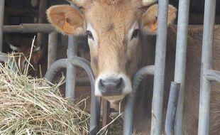 Une vache nantaise