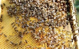 Le gouvernement s'est prononcé pour l'interdiction du pesticide Cruiser OSR du groupe suisse Syngenta, utilisé pour les cultures de colza et accusé de contribuer au déclin des colonies d'abeilles, une décision saluée par les écologistes et les apiculteurs.