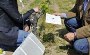 Des diffuseurs de phéromones sont installés dans les vignes pour empêcher la reproduction de papillons nuisibles