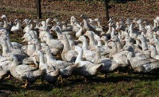 Deux semaines après la réapparition de la grippe aviaire dans l'Hexagone, au moins 15 pays et territoires ont mis en place des embargos, larges ou ciblés, sur les produits avicoles français
