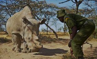 Une femelle rhinocéros blanc le 27 janvier 2015 dans le conté de Laikipia, au nord de Nairobi