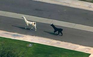 Deux lamas ont tenu en échec des dizaines de policiers dans les rues de Phoenix, en Arizona.