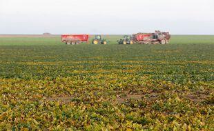 Néonicotinoïdes: Agriculteur récoltant une parcelle de betteraves touchée par la jaunisse de la betterave dans les plaines céréalières de Champagne Ardenne.