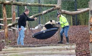 Le jeune Panda Tian Bao dans son nouvel enclos.