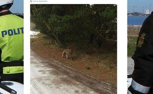 La police danoise a publié sur son compte Twitter la photo d'un babouin qui s'est échappé du zoo.