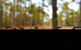 Les fourmis s'adaptent lorsque le trafic augmente.