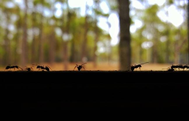 Les fourmis, bien plus efficaces que Bison Futé pour éviter les bouchons