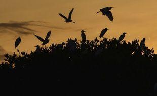 Les aigrettes volent au sommet d'une mangrove pendant le lever du soleil à Kajhu  (Indonésie).