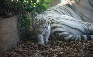 La naissance du tigreau, le 8 août, avait été une belle surprise.