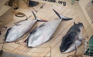Trois petits rorquals morts gisent sur lep pont d'un bateau baleinier japonais le 5 janvier 2014. Une photo prise par Sea Sheperd Australie.