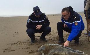 Le phoque gris secouru par la gendarmerie dimanche 31 janvier 2016 à Saint-Brévin.
