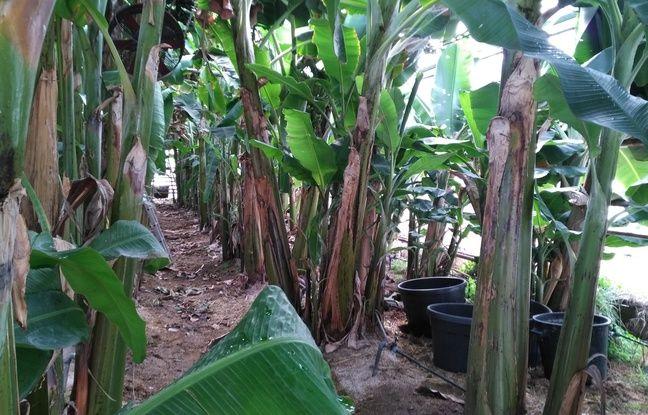 Les bananiers poussent sous une serre de 6 mètres.