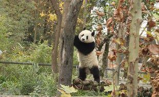 Zhen Zhen, panda de la base de Chengdu, en Chine, a été installée dans la Panda valley le 16 novembre 2012.