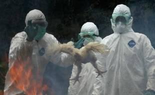Des agents du ministère de la Santé indonésien procèdent à la destruction de volailles pour prévenir la propagation du virus de la grippe aviaire, Djakarta, le 16 décembre 2008.