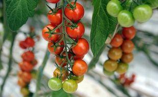 Tomates ayant donné leur accord pour illustration.