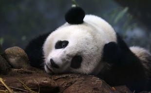 Illustration: un panda géant.