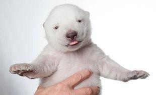 Siku, l'ourson polaire né dans un parc animalier du Danemark, à l'âge d'un mois.