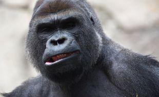 Malabo, le gorille du zoo de Madrid.