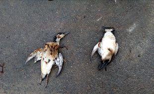 Des oiseaux souillés de pétrole ont été découverts sur la commune de Plougasnou, dans le Finistère. La pollution proviendrait encore du pétrolier Tanio, coulé en 1980.