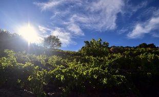 Des vignes près de Collioure. (archives)