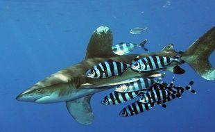 Un requin longimane, appelé parata (illustration)