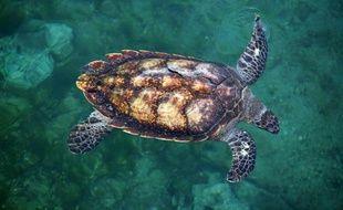 Une tortue marine nage à l'observatoire de Kelonia à Saint-Leu à la Réunion dans le sud-ouest de l'Océan Indien en octobre 2007