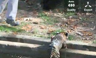 Capture d'écran de la vidéo montrant deux bébés tigres de Sumatra prenant leur bain au zoo de Washington, le 6 novembre 2013.