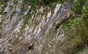 Une ourse suitée de ses deux oursons de 18 mois repérés en mai dans le Couserans.