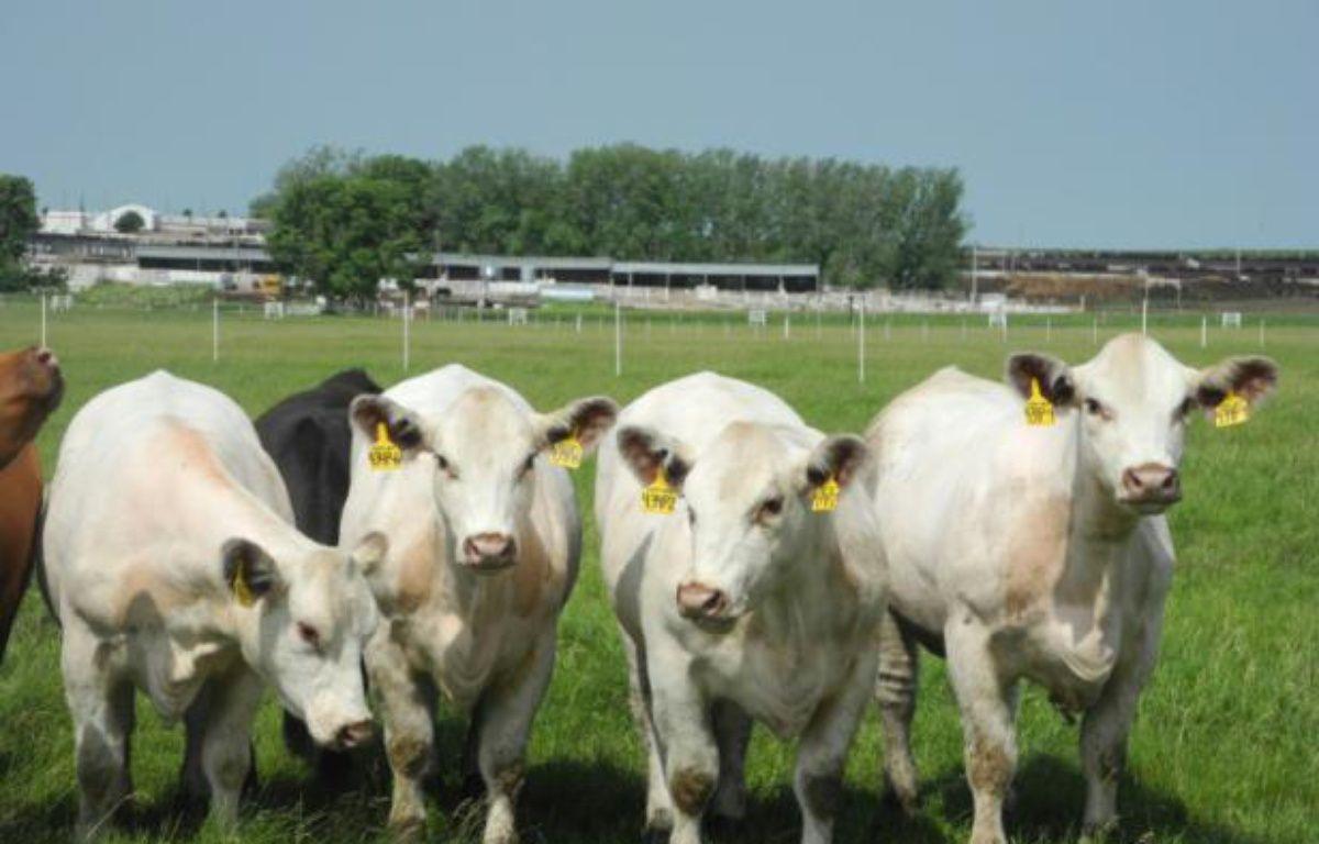 Quatre génisses rigoureusement identiques, créées par clonage, pâturent dans les champs le 16 juin 2014 dans un centre de génétique dans l'Iowa – Juliette MICHEL AFP