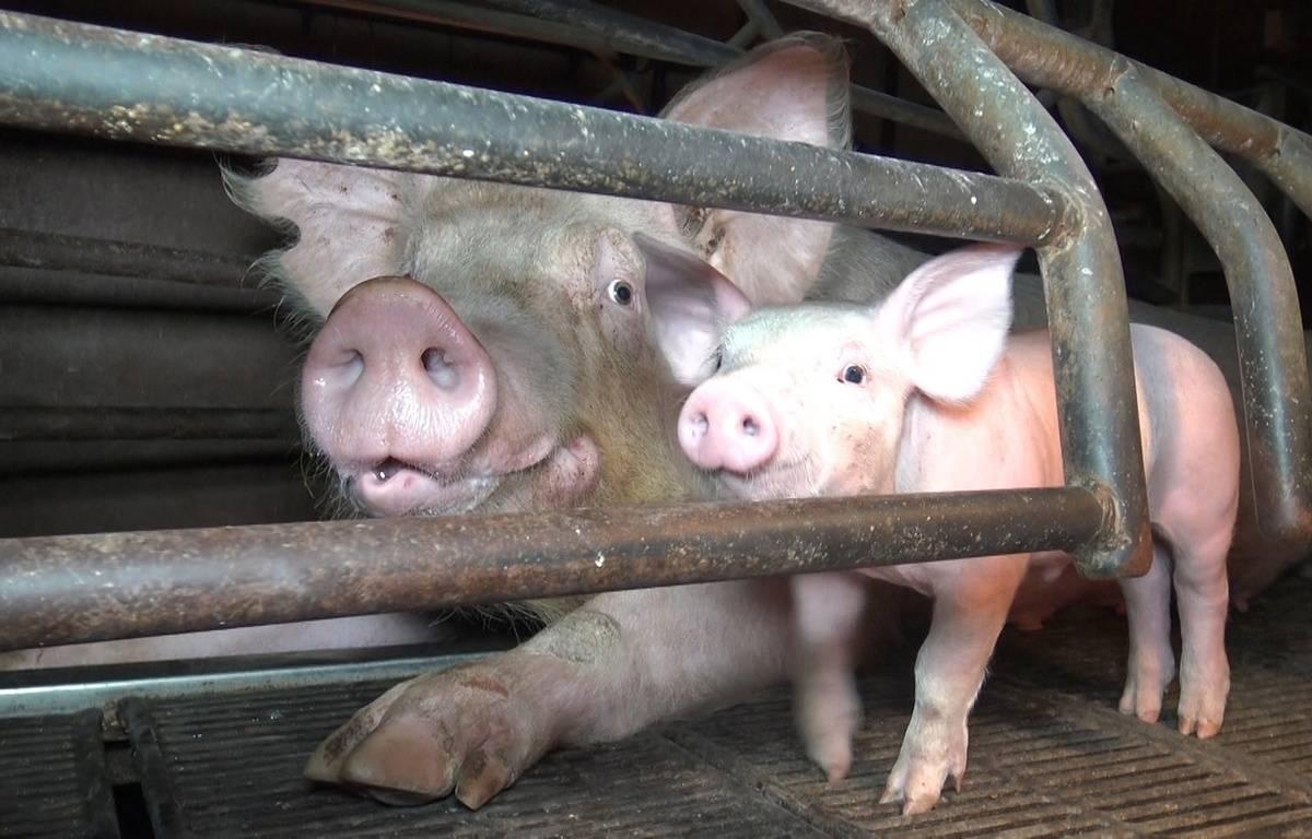 Extrait du reportage de L214 dans un élevage de porcs du Finsitère. – L214