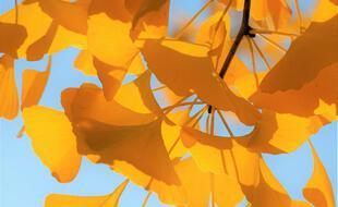 À l'automne, le feuillage caduc du Ginkgo prend une teinte jaune d'or de toute beauté