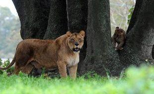Les autorités kényanes ont abattu jeudi une lionne qui s'était échappée du parc national de Nairobi et rôdait, avec ses quatre lionceaux, dans le voisinage du parc à une quinzaine de km du centre de la capitale kényane