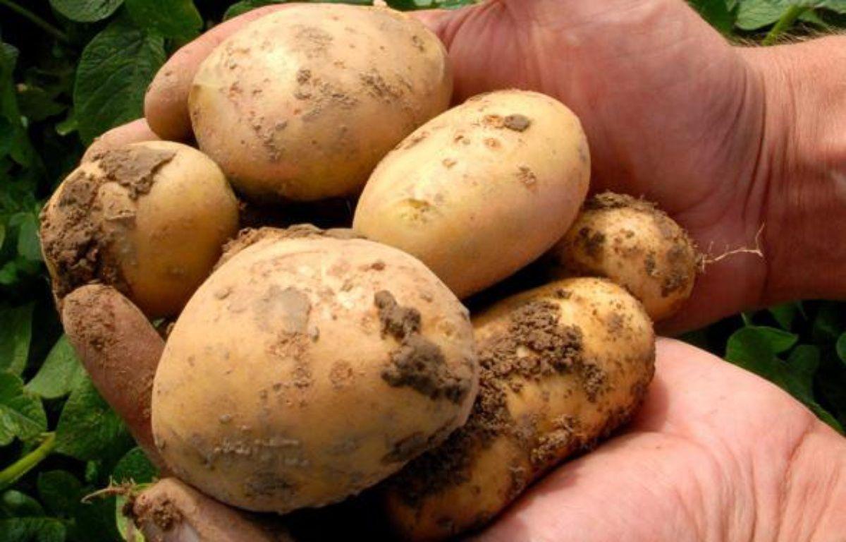 Quelques patates Amflora, génétiquement modifiées (OGM). – AFP