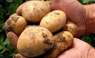 Quelques patates Amflora, génétiquement modifiées (OGM).