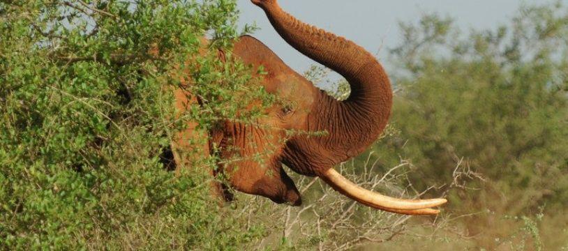 Les défenses saisies représentent un poids total de 16 kilos d'ivoire.