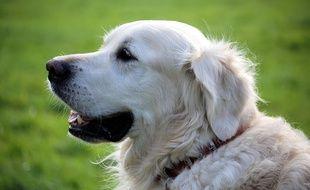 Posséder un chien comme le retriever serait bénéfique pour la santé.