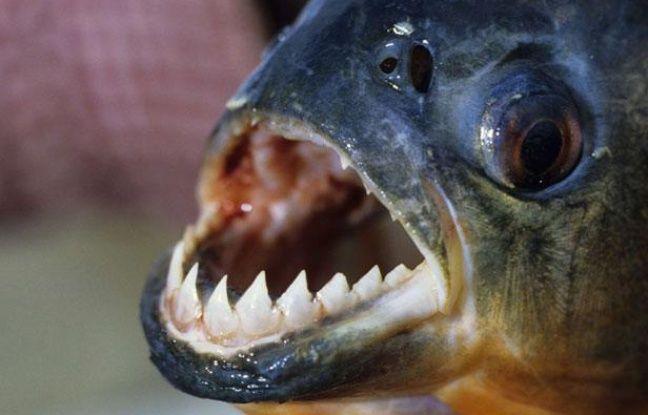 Un piranha d'Amazonie.
